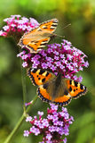 Small tortoiseshell or Aglais Royalty Free Stock Images