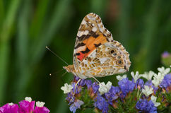 Small tortoiseshell Aglais urticae butterfly Stock Photography