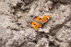 The small tortoiseshell Aglais urticae - is a butterfly in the family Nymphalidae. Sits on a dried ground, the Ukraine Royalty Free Stock Images
