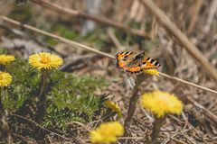The small tortoiseshell Aglais urticae butterfly sitting on coltsfoot Tussilago farfara yellow flower. Low contrast, selective focus Royalty Free Stock Photos