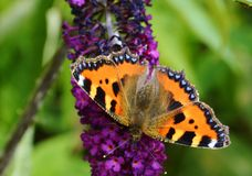 Small Tortoiseshell (Aglais urticae). Royalty Free Stock Images