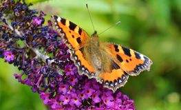 Small Tortoiseshell (Aglais urticae). Stock Photo