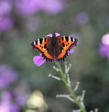 Small tortoiseshell, aglais urticae. Aglais urticae is the small tortoiseshell is a colourful Eurasian butterfly in the family Nymphalidae. He is sitting on a Stock Photos