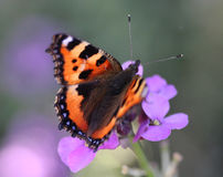 Small tortoiseshell, aglais urticae. Aglais urticae is the small tortoiseshell is a colourful Eurasian butterfly in the family Nymphalidae. He is sitting on a Stock Photography