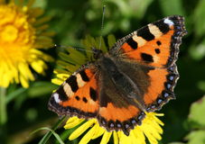 Small Tortoiseshell (Aglais urticae) on Dandelion Royalty Free Stock Photography
