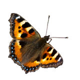 Small Tortoiseshell (Aglais urticae)isolated. A wonderful colored small tortoiseshell butterfly, isolated, Uppland, Sweden royalty free stock image
