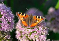 Small tortoiseshell (Aglais urticae L.) Stock Images