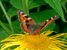 Small tortoiseshell Stock Photo
