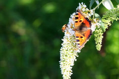 The Small Tortoiseshell. (Aglais urticae L.) on summer lilac (Buddleja davidii) in the Netherlands stock photo