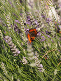 Small tortoiseshell Aglais urticae Royalty Free Stock Photography
