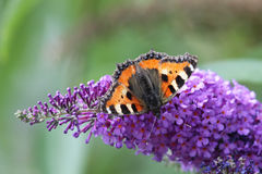 Small Tortoiseshell (Aglais urticae) Royalty Free Stock Photo