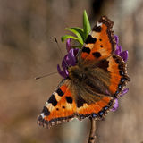 Small tortoiseshell, Aglais urticae Stock Photo