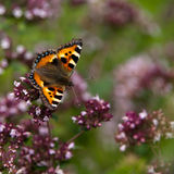 Small Tortoiseshell (Aglais urticae), Sweden Royalty Free Stock Image