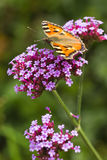 Small tortoiseshell or Aglais urticae on Verbena Stock Photos