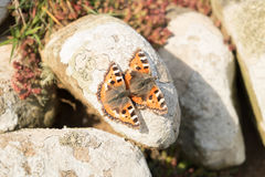 Small tortoiseshell butterfies. Royalty Free Stock Photos