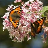 Small tortoiseshell butterflies on royalty free stock photos