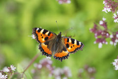 Small Tortoiseshell Butterfly. The Small Tortoiseshell (Aglais urticae) is a well-known colourful butterfly stock images