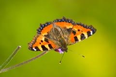 Small tortoiseshell butterfly. (Aglais urticae Stock Photo