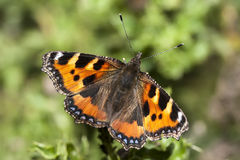 Small Tortoiseshell butterfly Stock Photos