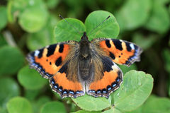 Small Tortoiseshell Butterfly  - Aglais Urticae Royalty Free Stock Image