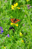 Small Tortoiseshell butterfly, (Aglais urticae) Royalty Free Stock Photo