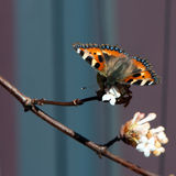 Small Tortoiseshell butterfly (Aglais urticae). A wonderful colored small tortoiseshell butterfly sucking nectar from the snowball tree in the early spring royalty free stock photos