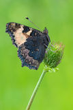 Small Tortoiseshell Stock Photography