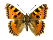 Small Tortoiseshell Butterfly Royalty Free Stock Images