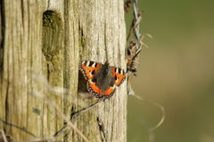 Small tortoiseshell butterfly Royalty Free Stock Photo