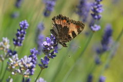 Small tortoiseshell butterfly. Small tortoiseshell or Aglais urticae royalty free stock image