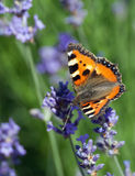 Small tortoiseshell butterfly (Aglais urticae). On blooming lavender Royalty Free Stock Image