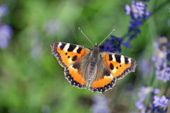 Small tortoiseshell butterfly (Aglais urticae) Stock Photos