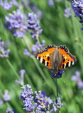 Small tortoiseshell butterfly (Aglais urticae) Stock Images