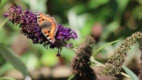 Small tortoiseshell butterfly. Aglais urticae stock footage