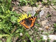 The small tortoiseshell butterfly Aglais urticae or Kleiner Fuchs Schmetterling, Innerthal. Canton of Schwyz, Switzerland stock photo