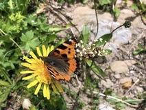 The small tortoiseshell butterfly Aglais urticae or Kleiner Fuchs Schmetterling, Innerthal. Canton of Schwyz, Switzerland stock images