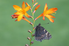 Small tortoiseshell butterfly, Aglais urticae Royalty Free Stock Photography