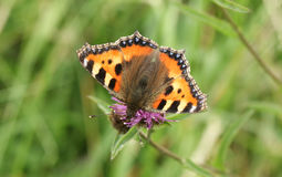 A Small Tortoiseshell Butterfly Aglais urticae nectaring from a flower. Royalty Free Stock Image