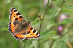 A Small Tortoiseshell Butterfly Aglais urticae nectaring on a flower. Royalty Free Stock Photos