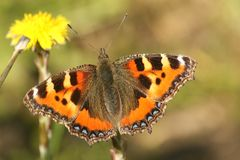 A pretty Small Tortoiseshell butterfly Aglais urticae nectaring on a yellow  Coltsfoot flower Tussilago farfara. A Small Tortoiseshell butterfly Aglais urticae Royalty Free Stock Photos