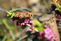 Small Tortoiseshell butterfly / Aglais urticae on pink flower Stock Photo
