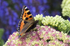 Small Tortoiseshell Butterfly Aglais urticae Stock Photography