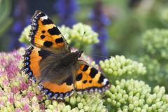Small Tortoiseshell Butterfly Aglais urticae. On Pink Sedum stock image