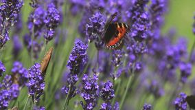 Small Tortoiseshell Butterfly, aglais urticae, Sucking Nectar from Laverder Flowers, Normandy, stock footage