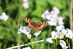 Small Tortoiseshell Butterfly (Aglais urticae) on White Flower. A Small Tortoiseshell Butterfly resting on a white flower against a green backdrop. The Royalty Free Stock Photo