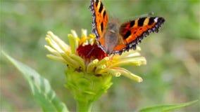 Small tortoiseshell butterfly stock video footage