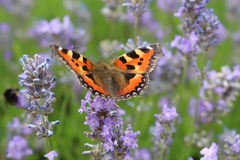 Small Tortoiseshell Butterfly. A brightly coloured  small Tortoiseshell butterfly settled on a lavender flower spike Stock Photos