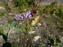 Small Tortoiseshell butterfly on buddleia plant stock photo