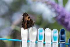 Small Tortoiseshell butterfly on clothes pegs. Small Tortoiseshell butterfly (Aglais urticae) with wings closed resting on clothes pegs on a washing line Royalty Free Stock Images