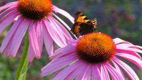 Small tortoiseshell butterfly on a Coneflower Stock Images